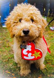 steelers halloween a real beanie baby u2013 my goldendoodle on halloween u2013 you bet your