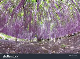 big blooming purple wisteria tree many stock photo 411635236