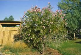 desert willow tree selection landscape plants edward f