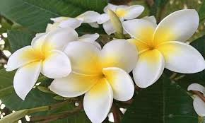 compare prices on floral plumeria decor online shopping buy low