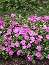 impatiens flowers impatiens flowers pictures brighten shady nooks with americas top