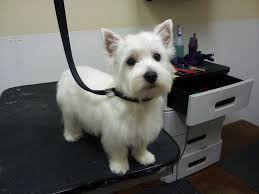 images of westie hair cuts the writing groomer october 2012