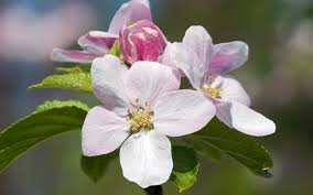 apple tree bloom wallpapers wallpaper summer bloom screensavers flower cherry blossom
