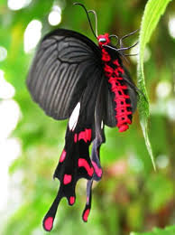 swallowtails the greatest diversity of shapes as a