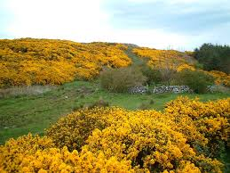 native scottish plants the scottish home when the gorse is in bloom
