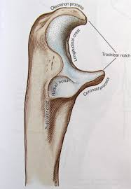 Anatomy And Physiology Of The Back Notes On Anatomy And Physiology The Elbow Forearm Complex
