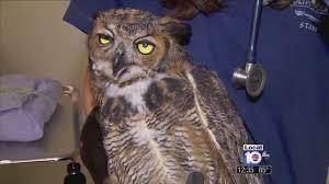 Christmas Tree Cataract Surgery by Owl Undergoes Surgery To Get Eyesight Back