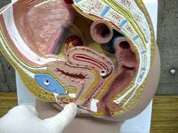 Female Urinary System Anatomy Female Urinary System Youtube