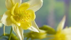 daffodil flower wikipedia u2013 fiori idea immagine