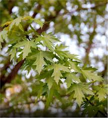 buy affordable silver maple trees at our nursery