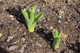 Irises How To Plant Grow info on spring bulb flowers u2013 how long does it take for bulbs to