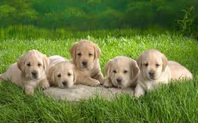 cute puppies 2 wallpapers puppy desktop wallpaper 63 images