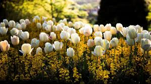 flowers garden nice flower beautiful park yellow tulip nature