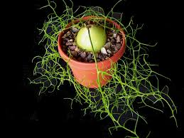how to grow and care for climbing onion see more at http