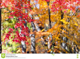 the beautiful autumn color of japan mapleleaves on tree is gre