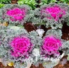 best ornamental kale brassica oleracea flowering kale mixed color