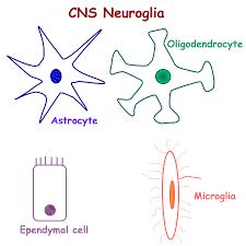 Nervous System Concept Map Biology 2404 A U0026p Basics