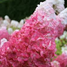 vanilla strawberry hydrangea for sale at wayside gardens