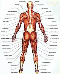 Back Knee Anatomy Muscle Archives Page 12 Of 36 Human Anatomy Chart