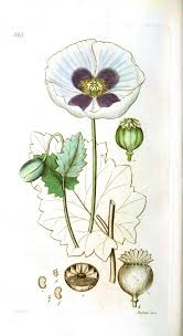 61 best poppies images on pinterest botany poppies art and poppies