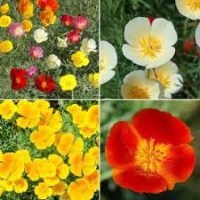 California Poppy California Poppy Seeds Poppy Seeds Mixes Edenbrothers Com