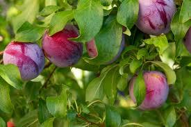 fertilizer requirements for plums u2013 how to fertilize a plum tree