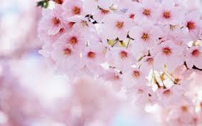 white cherry blossom white cherry blossom wallpapers wallpaper wiki