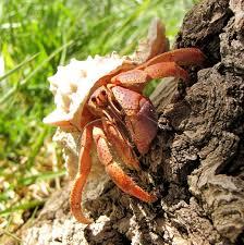 caribbean hermit crab wikipedia