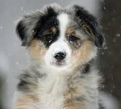 australian shepherd traits 872 best puppies images on pinterest animals australian