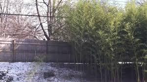 Bamboo Backyard Chinese Bamboo Plant Invading Backyard Youtube