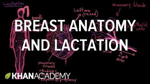 Female Breast Anatomy And Physiology Breast Anatomy And Lactation Reproductive System Physiology