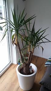 Yucca Wohnzimmer Yucca Palme Bekommt Viele Gelbe Blätter Pflanzenkrankheiten