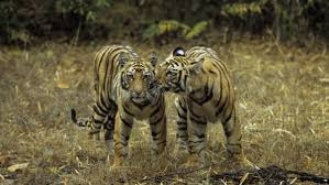 tiger spotting in india these are the best places cnn travel