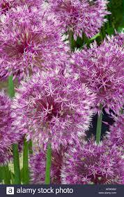 allium early emperor ornamental bulbs flowering garlic