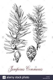 common juniper is a coniferous evergreen ornamental tree with