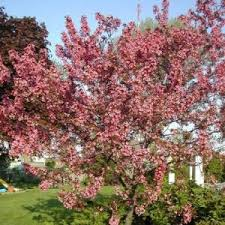 flowering crabapple trees for sale nature nursery
