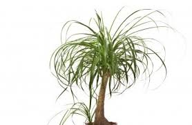 cutting back ponytail palm how to prune a ponytail palm plant