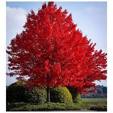 autumn blaze maple tree 1 gallon growers solution