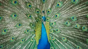 indian peafowl animal profile facts pictures