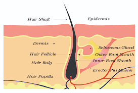 Platelet Rich Plasma Hair Loss Platelet Rich Plasma Therapy For Hair Loss In India Om Hair