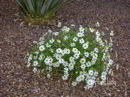 blackfoot native plants perennials for a drought tolerant garden u0026 radio interview