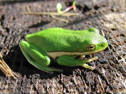 Greenish Gray by Green Treefrog Chesapeake Bay Program