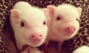 piglets caught stealing milk dairy cows
