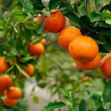 calamondin orange tree fast growing trees