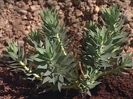 usda native plants desert plants diy