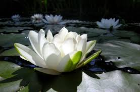 Lotus Flower Parts - 25 rare flowers that are stunning to look at