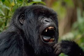 why do plant eating gorillas have big sharp teeth