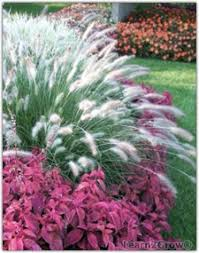 planting and care tips for ornamental grasses gardening
