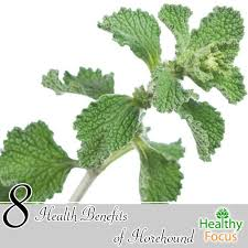 horehound candy where to buy 8 health benefits of horehound healthy focus