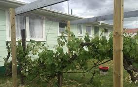 Grape Vine Pergola by Grapevine Pergola U2013 Lockjaw Wire Anchor
